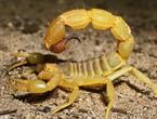 The five most dangerous scorpions on the territory of Saudi Arabia and the Arabian Peninsula