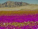 """ظاهرة """"ازدهار الصحراء"""" تعود إلى أتاكاما.. وتلوّن أكثر مناطق العالم جفافاً"""