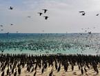 Photos | Une scène majestueuse de troupeaux de cormorans de Socotra `envahissant` l'une des plages d'Oman