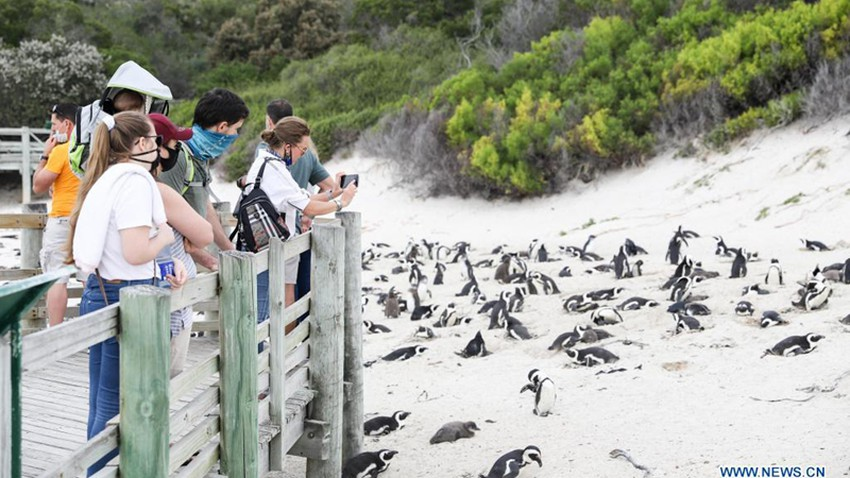 Rare event: 63 endangered penguins found dead by an unexpected little killer