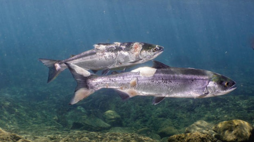 كيف ظهرت البقع الحمراء المفزعة التي غطت أسماك السلمون في نهر كولومبيا.. وما زالت موجات الحر تنذر بالأسوأ