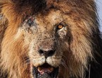 The departure of the global lion `Scarface`... the legend of Mara