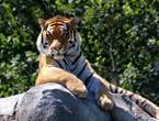 النمر نادية | أول حيوان في الولايات المتحدة تنتقل له عدوى الفايروس كورونا
