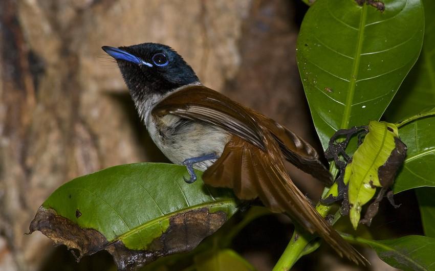 طيور الجنة في جزر سيشل