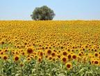 مشاهد ساحرة لحقول دوار الشمس في رومانيا
