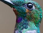 مجموعة صور تعكس الجمال الرائع لطائر الطنان