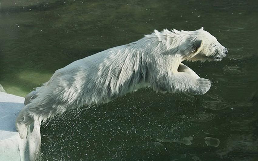 بالصور: أنثى الدب القطبي تعلّم صغارها الغوص   طقس العرب ...