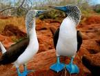 طائر الأطيش الأزرق القدمين .. الأكثر غرابة بين الطيور