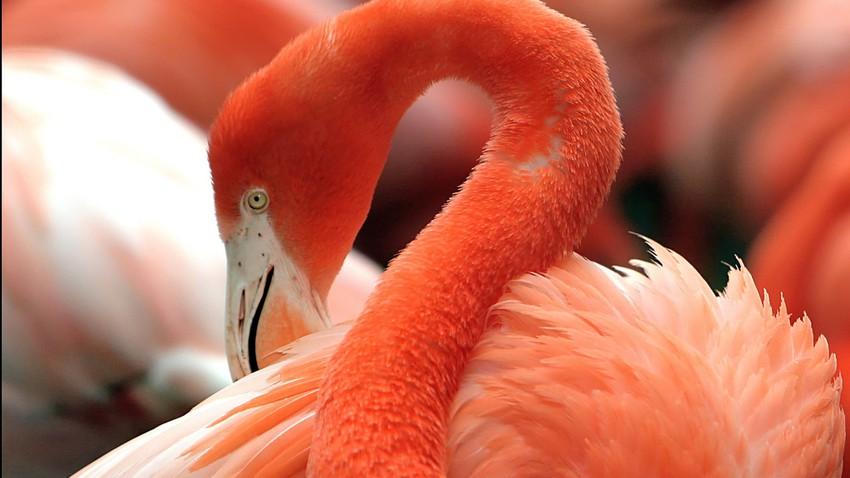 تعرف على طيور النحام الوردية