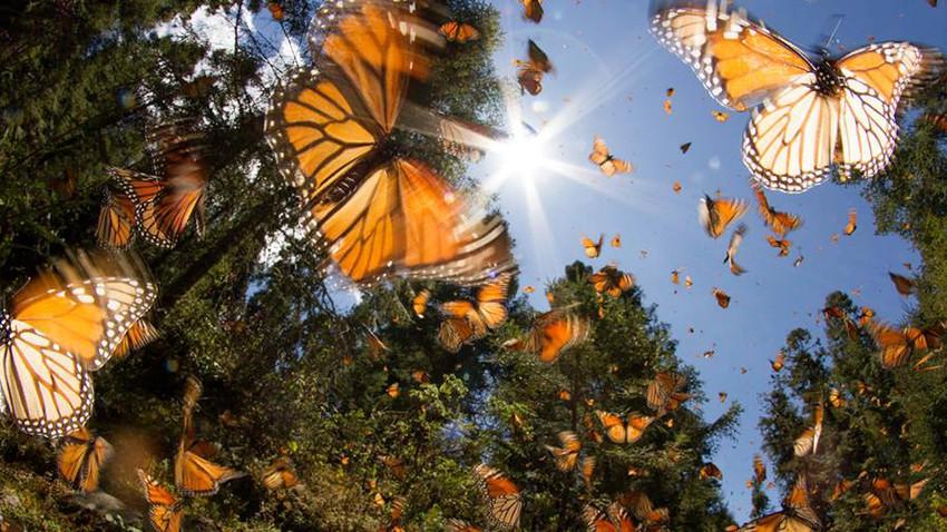 ملايين الفراشات تعبر سماء الاردن ...!!!