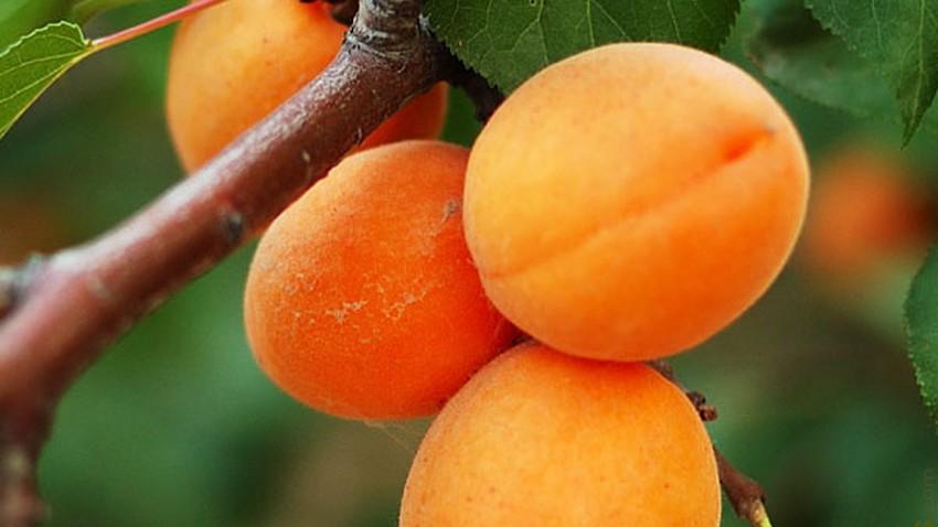 فاكهة المشمش - طقس العرب
