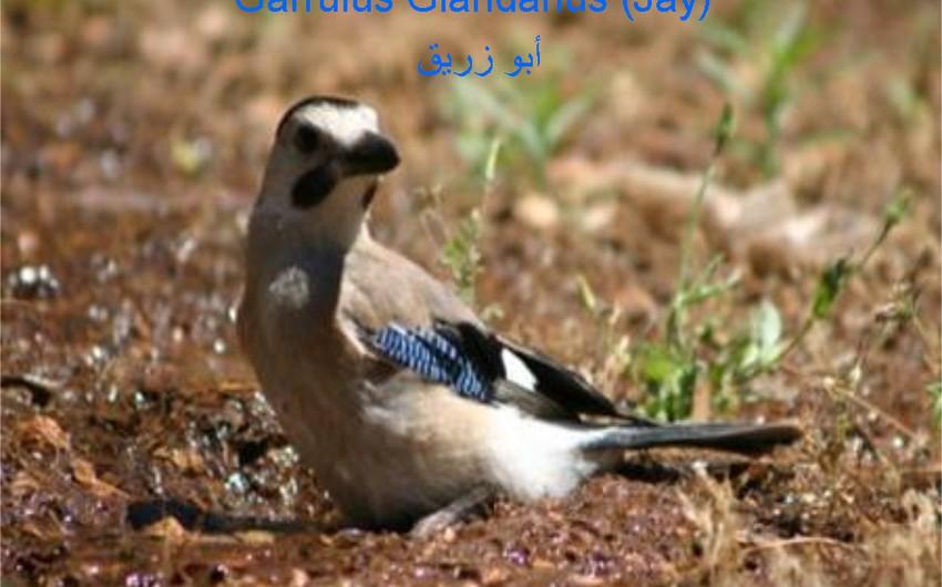 طائر أبو زريق (الزريقي)  صديق الغابة  بامتياز