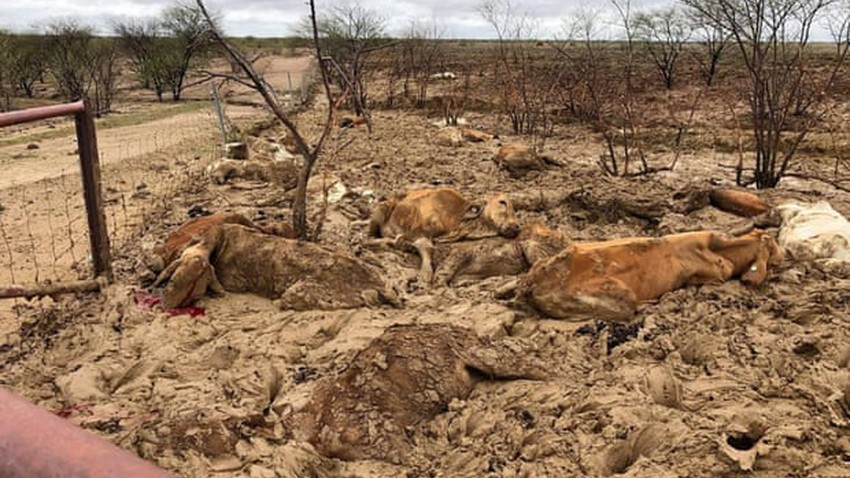 نفوق آلاف المواشي في فيضانات كوينزلاند في أستراليا