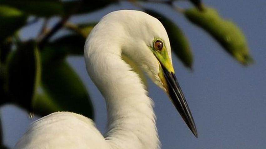 طائر مالك الحزين .. من أكثر الطيور جمالا وشداً للإنتباه