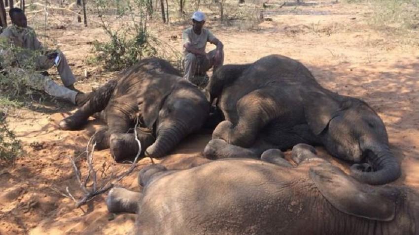 بسبب الجفاف... نفوق 55 فيلًا في زيمبابوي جوعًا