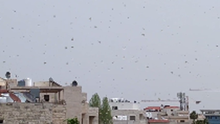 Watch a video of some locust swarms that entered the capital, Amman