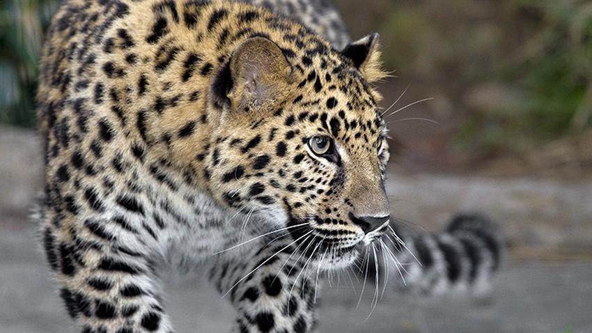 أفضل الأماكن لمشاهدة النمور في إفريقيا (أو الفهود كما نُسمّيها)