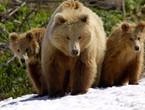 تغير المناخ يقلص مدة سبات الدببة في روسيا
