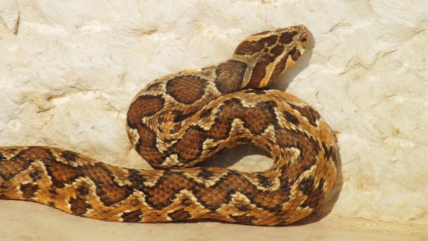 The most dangerous five poisonous snakes in Jordan