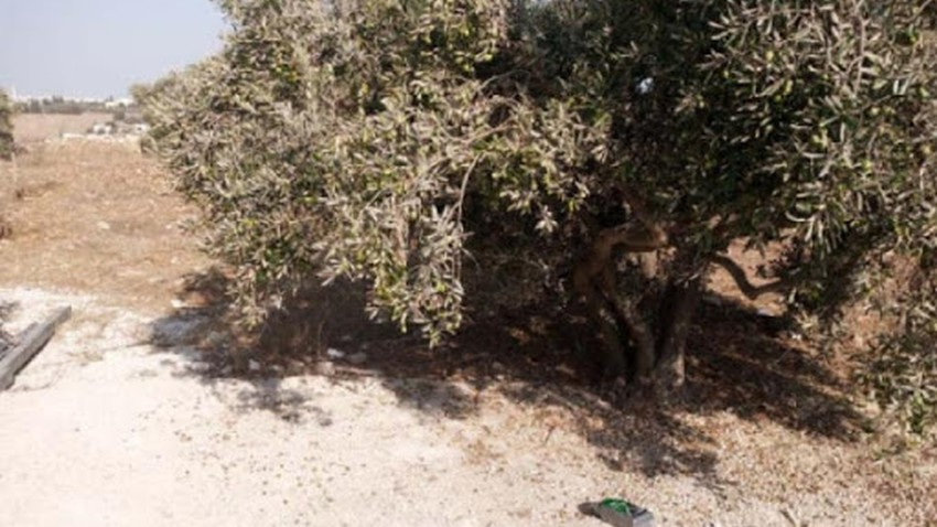 Irbid: The heat wave causes the leaves of olive trees to burn and their fruits to fall