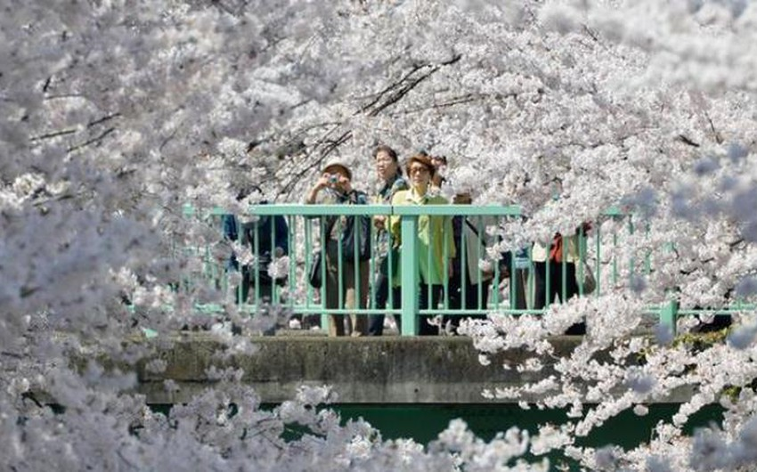 """موسم تفتح الكرز """"هانامي"""" ... من أجمل المواسم للسياحة في باليابان"""