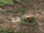 شاهد: زلزال نيوزيلندا يرفع بقرتين وعجلا إلى قمة جبل!